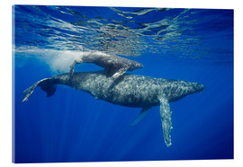 Acrylic glass  Humpback whale with calf - Dave Fleetham