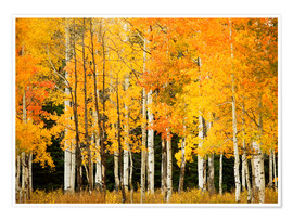 Premium poster  Autumn Forest at Buffalo Pass - Ron Dahlquist