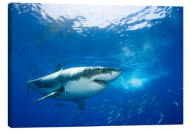 Canvas print  Great White Shark in front of Guadalupe - Dave Fleetham