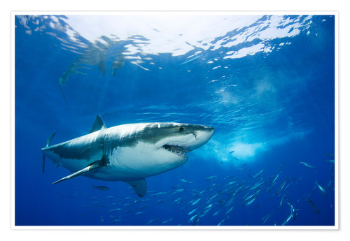 Premium poster Great White Shark in front of Guadalupe