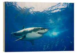 Wood print  Great White Shark in front of Guadalupe - Dave Fleetham