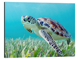 Aluminium print  Green sea turtle - M. Swiet
