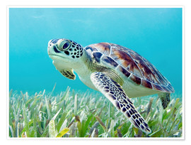 Poster  Green sea turtle - M. Swiet