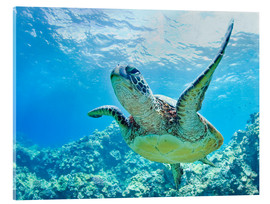 Acrylic print  Green sea turtle off Hawaii - M. Swiet