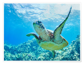 Poster  Green sea turtle off Hawaii - M. Swiet