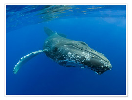 Poster  Humpback Whale - M. Swiet