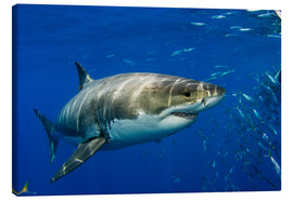 Canvas print  White shark - Dave Fleetham