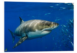 Foam board print  White shark - Dave Fleetham