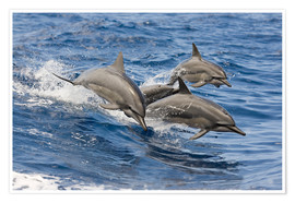Poster  Dolphins jump in - Dave Fleetham
