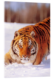 Acrylic print  Siberian Tiger in the snow - John Hyde