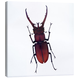 Canvas  Beetle - Henry Lin