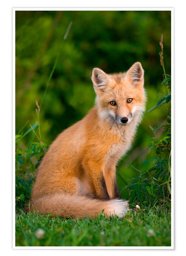 Premium poster Young red fox