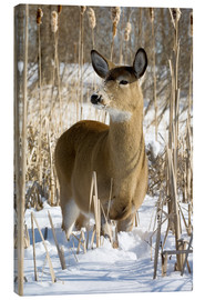 Canvas  Whitetail Deer - Philippe Henry
