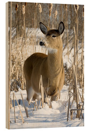 Wood print  Whitetail Deer - Philippe Henry