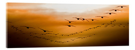 Acrylic print  Geese flying into the sunset - Chad Coombs