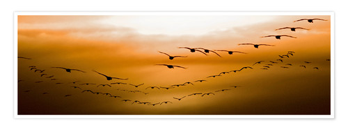Poster Geese flying into the sunset