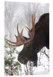 Acrylic print  Moose in Winter - Philippe Henry