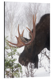 Aluminium print  Moose in Winter - Philippe Henry