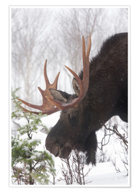 Poster  Moose in Winter - Philippe Henry