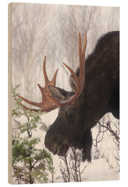 Wood  Moose in Winter - Philippe Henry