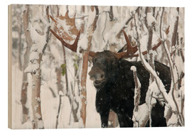 Wood  Elk sniffing in a winter forest - Philippe Henry