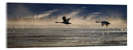 Acrylic print  Swans near Swan Haven - Peter Mather