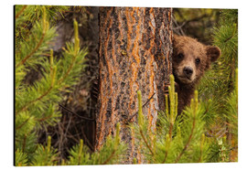 Aluminium print  Grizzly bear behind a tree - Robert Postma