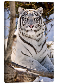 Canvas print  White Bengal Tiger - Chad Coombs