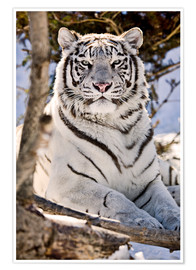 Premium poster  White Bengal Tiger - Chad Coombs