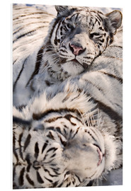 Foam board print  White Bengal Tiger - Chad Coombs