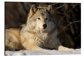 Alu-Dibond  Grey Wolf in Quebec - Steeve Marcoux