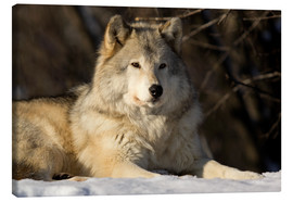 Canvas print  Grey Wolf in Quebec - Steeve Marcoux