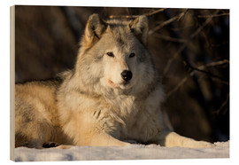 Wood print  Grey Wolf in Quebec - Steeve Marcoux