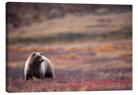 Canvas print  Grizzly in tundra - Milo Burcham