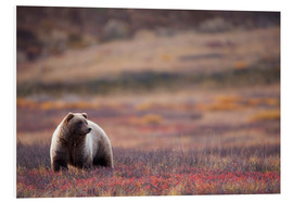 Forex  Grizzly in tundra - Milo Burcham