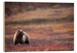 Wood print  Grizzly in tundra - Milo Burcham