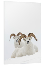 Foam board print  Two sheep in the snow - Milo Burcham