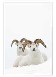 Premium poster Two sheep in the snow