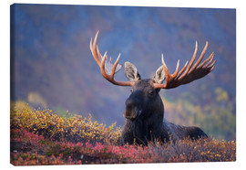 Canvas print  Bull Moose in Alaska - Milo Burcham