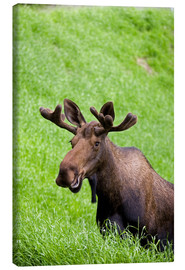 Canvas print  Bull Moose in the Grass - John Delapp