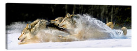 Canvas print  A pack of grey wolves in deep snow - John Hyde