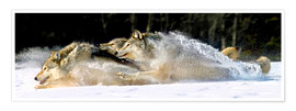Premium poster A pack of grey wolves in deep snow