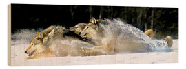 Wood print  A pack of grey wolves in deep snow - John Hyde