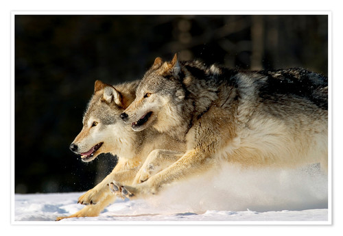 Premium poster Pack Of Grey Wolves Running Through Deep Snow