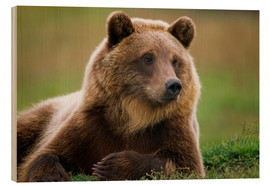 Wood print  Brown bear in summer - Doug Lindstrand