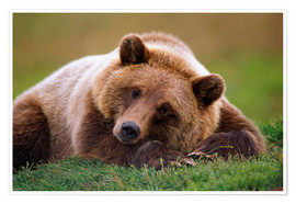 Premium poster Lying brown bear
