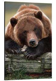 Doug Lindstrand - Brown Bear snoozing on