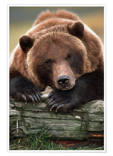 Poster Brown Bear snoozing on