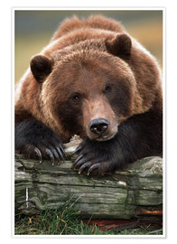Premium poster Brown Bear snoozing on