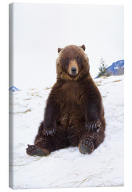 Canvas print  Grizzly sitting in the snow - Doug Lindstrand